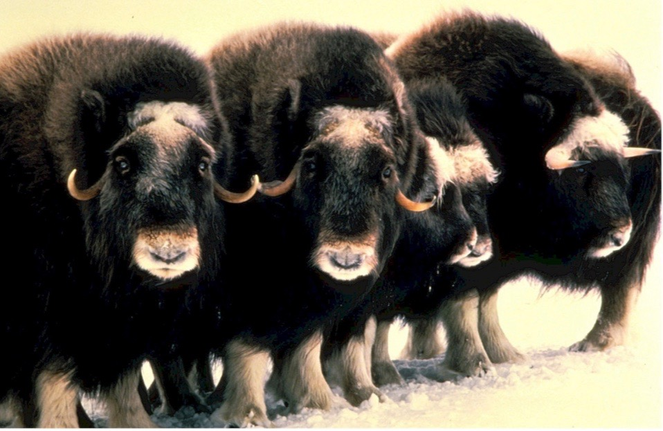 CONFERENCE : The Muskox Wonder
